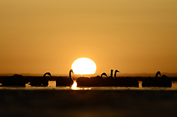 Swans have a rest in the Qinghai Lake in northwest China's Qinghai Province, Feb. 27, 2016. EXPA Pictures © 2016, PhotoCredit: EXPA/ Photoshot/ Zhang Hongxiang<br />
