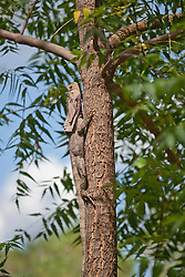 A frill-necked lizard fllattened against a tree.