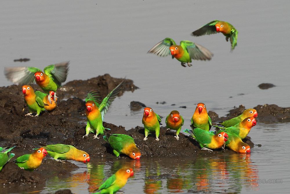 Fischer's Lovebird, Agapornis fischeri, Tanzania, by Markus Lilje