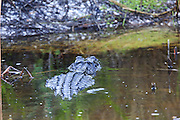 American Alligator in Wetland Habitat