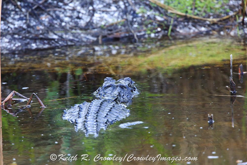 American Alligator in Wetland Habitat
