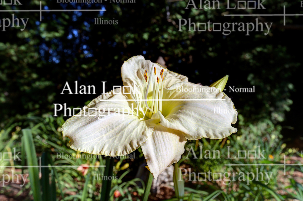 10 July 2014:   Lillies Images was created using HDR (High Dynamic Range Processes).