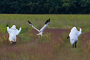 One of the Whooping Cranes fledges for the first time following the arm flapping costumed aviculturist.  Nine Whooping Cranes were raised by a costumed aviculturist so that there will be no human imprint during the Direct Autumn Release program.  The program raises the chicks from hatch until their release in the fall in an reintroduction effort to increase the numbers of the rare Whooping Crane.
