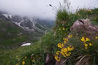 Hippocrepis comosa; Horseshoe Vetch, Augstenberg, Liechtenstein