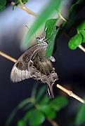 Kirinia roxelena, Butterfly, Israel, October, 2006