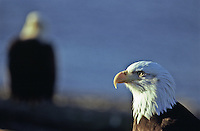 Bald Eagles (Haliaeetus leucocephalus) near Homer, Alaska.