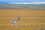 Pronghorn (Antilocapra americana) on the prairie<br />Near Grasslands National Park<br />Saskatchewan<br />Canada