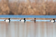 Lesser Scaup; Aythya affinis; and hybrid, Shiawassee River, Saginaw County, Michigan