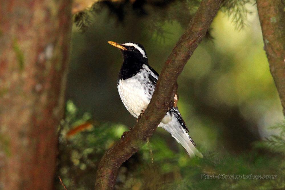 Pied Thrush, Geokichla wardii, Victoria Park, Nuwara Eliya, Sri Lanka, by Adam Riley