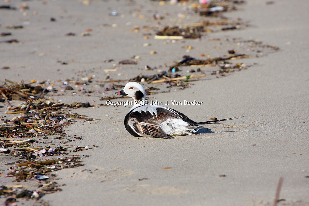 Long-tailed Duck female in winter plummage