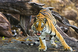 Bengal tiger in the wild (Panthera tigris tigris) displaying aggression and growling, Bandhavgarh,Madhya Pradesh,India