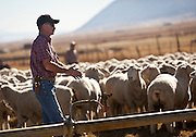 Jon Cook whistles and claps to move a group of ewes into a neighboring field on his sheep ranch outside Fountain Green, Monday, Nov. 5, 2012.