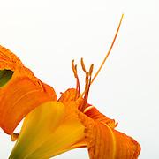 Reproductive parts of a lily in cross-section for pollentation:  stamen, pistil, ovary:  stamen, pistil:  stamen, pistil