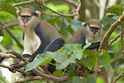 Mona monkeys at the Baobeng-Fiema monkey sanctuary, Ghana, West Africa.