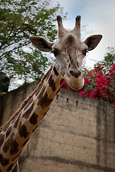 """Friendly Giraffe"" - This friendly giraffe was photographed in the Puerto Vallarta zoo."