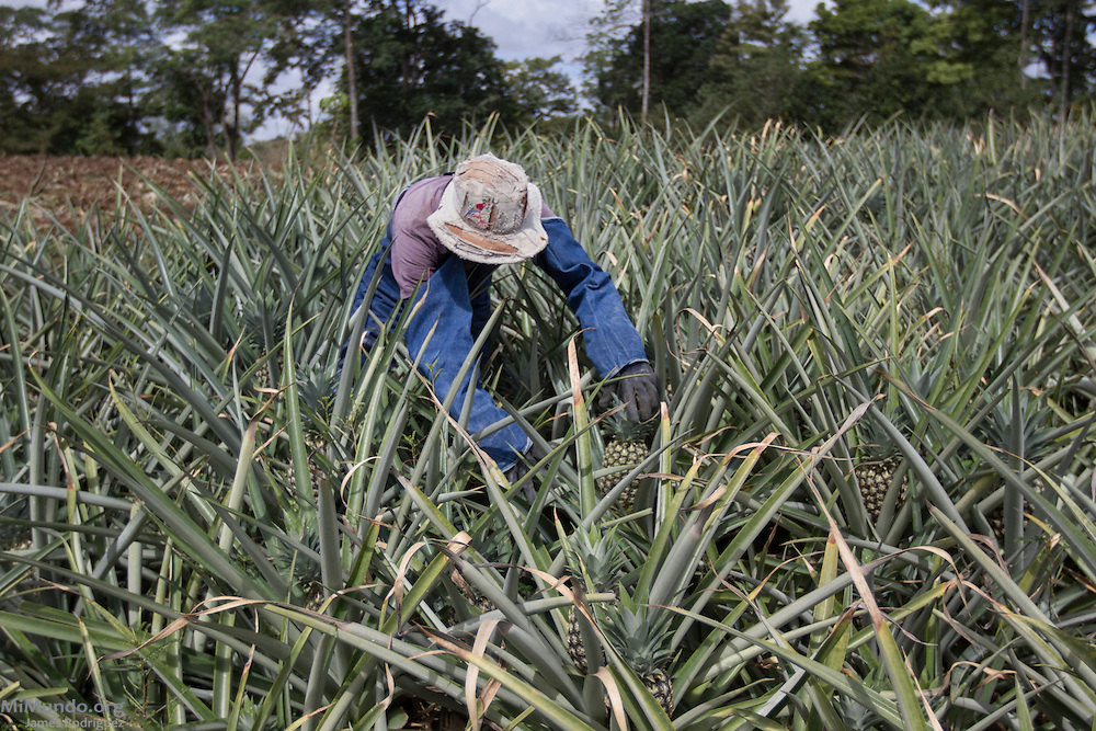 Pablo Araya, 52, from Katira, checks the ripeness of his pineapples. Mr. Araya has been a small producer associated with AGRONORTE since 2007. AGRONORTE exports pineapples, or ananas, certified by the Fairtrade Labelling Organization (FLO). Katira, San Rafael Guatuso, Alajuela, Costa Rica. January 29, 2014.