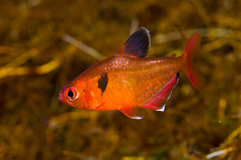 Serpae Tetra (Hyphessobrycon eques), photographed in a clear water spring in Mato Grosso do Sul, Brazil. This species is part of the Characin family and highly sought for the aquarium trade.