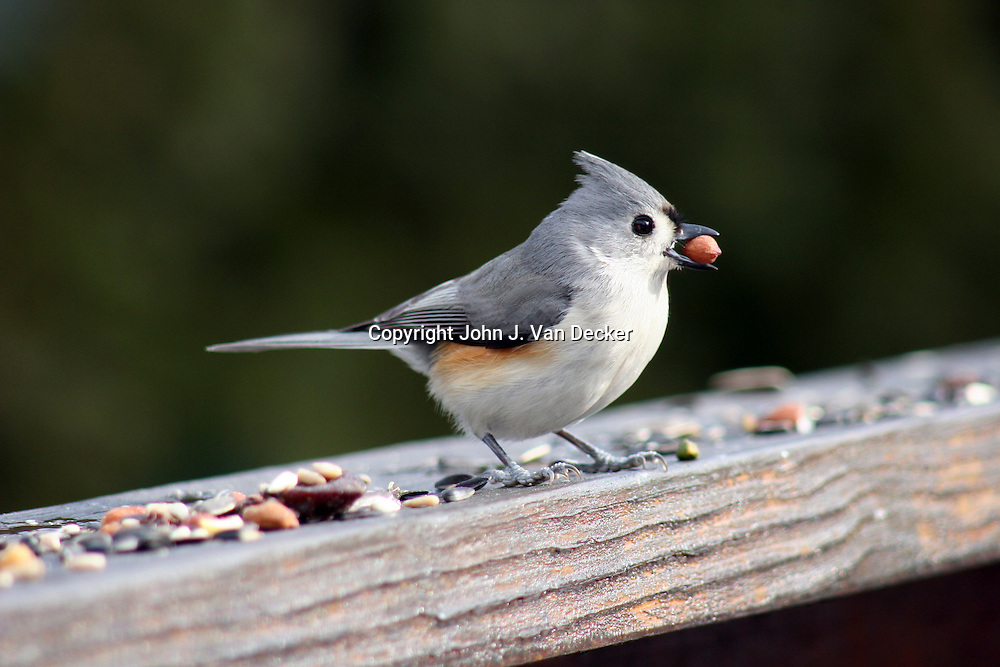 Tufted Titmouse, Baeolophus bicolor, with nut in beak looking right in profile