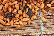 Cocoa beans drying in the sun on a plantation near the town of Moussadougou, Bas-Sassandra region, Cote d'Ivoire on Tuesday March 6, 2012.