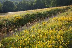 Field with Dyer's Greenweed (Dyer's broom) and Black or Lesser Knapweed. Genista tinctoria, Centaurea nigra