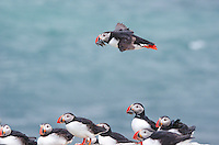 Atlantic or Common Puffin at Vigur Island, Iceland.
