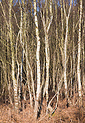 Dense growth of Betula pendula silver birch trees in woodland, Suffolk, England