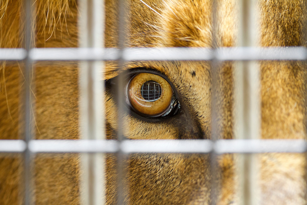 The eye of a captive male lion peers through the bars of his enclosure.