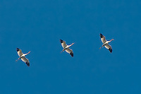 "Three of the ten ""first year"" whooping cranes flying to their wintering grounds in St. Marks - part of the extensive efforts of Operation Migration."