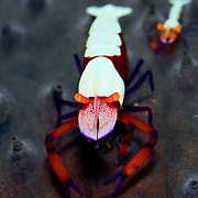 Periclimenes imperator shrimp in Lembeh Straits, Indonesia.