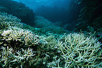 Bleached staghorn and other corals on a shallow reef in the Fiji Island.  Note that the white areas are bleached (have lost their algae), but brown areas have retained their algae.  Reefs can recover from this type of partial bleaching and this one did.