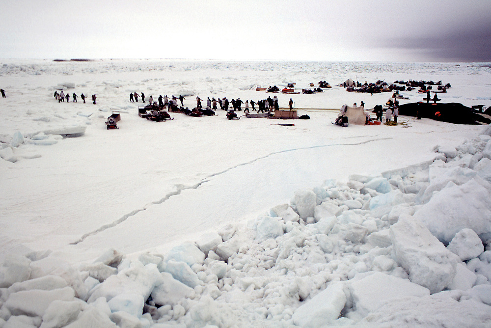 Barrow, Alaska, Native whalers and members of the community in Barrow help haul the bowhead whale carcass out of the water and onto sea ice after a sucessful hunt