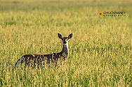 Whitetasil deer in hay meadow in Powder River County, Montana, USA