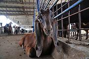 Israel, Goat Dairy farm