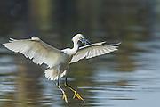 Snowy Egret (Egretta thula) - landing at Lake Murray, San Diego, CA