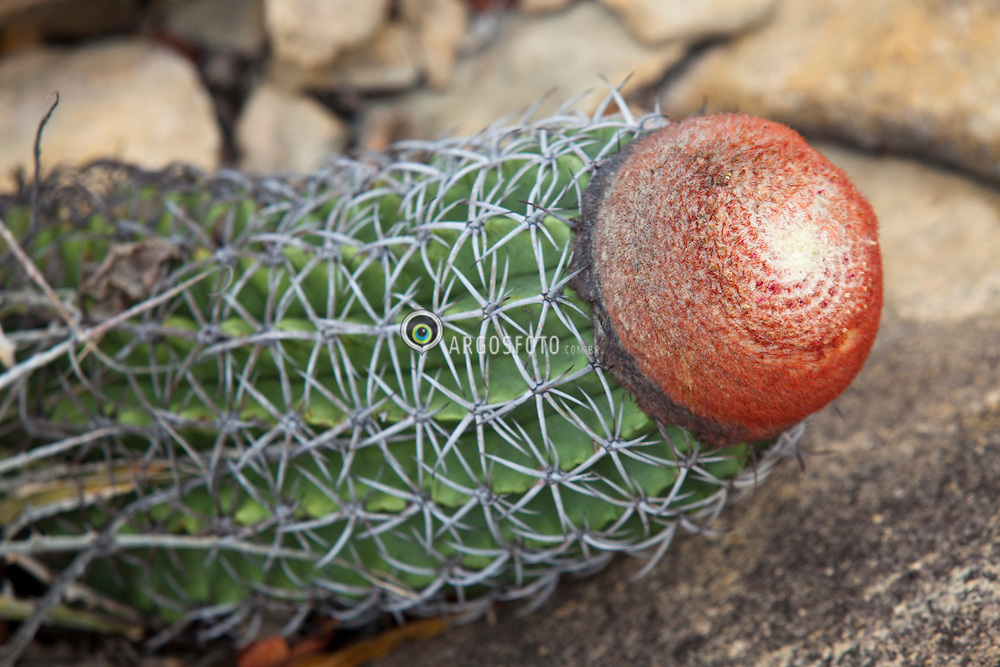 O coroa-de-frade (Melocactus macrodiscus) eh uma especie de cacto que ocorre na caatinga. / Melocactus (Melon cactus) is genus of cactus with about 40 species. A concentration of species in northeastern Brazil.