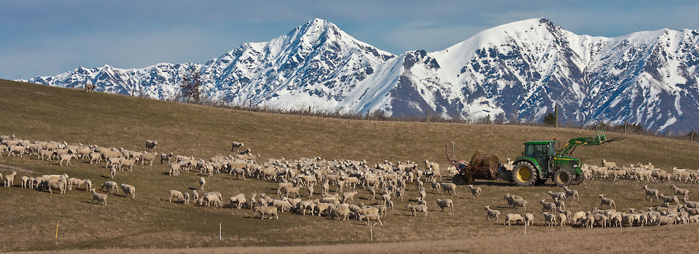 New Zealand sheep farm, winter, Central Otago