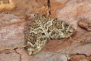 Spruce Carpet - Thera britannica