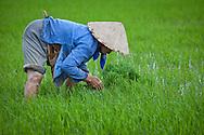 Women planting rice in region of Nah Thrang, Vietnam.
