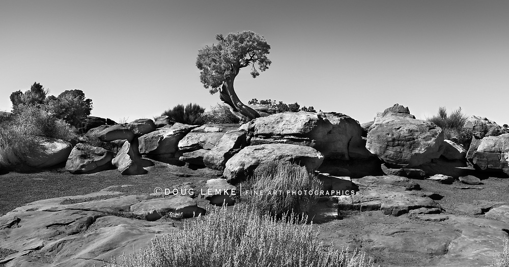 A Bristlecone Pine Tree growing out of rocks at Dead Horse Point State Park, Utah, USA