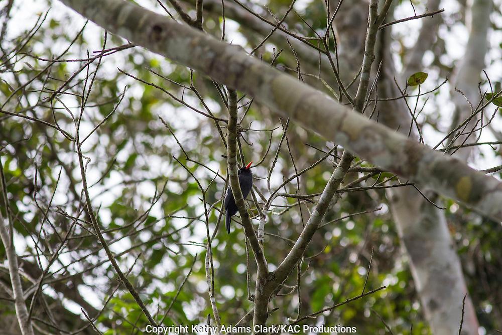 Black-fronted nunbird; Monasa nigrifrons; Inkaterra Amazonia; Madre de Dios River; Peru; Reserva Ecologica Inkaterra