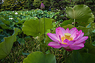 The lotus flower grows out of muddy ponds and display pink or white flowers that survive for only a few days in summer. The flowers open at dawn and shut themselves up by afternoon. This short lived blossoming suggests reincarnation which is why it is always used as a symbol for Buddhism.  The leaves and petals symbolize the perpetual cycle of existence.  The pure flowers arising from the dirt and mud symbolize the enlightenment any person is capable of achieving no matter its origins.  Many Buddhist images, rest on an open lotus. After blooming, the lotus retains its beauty in a different form - the seed pod has a distinctive, honeycomb shower nozzle shape.  The long roots are edible and are used in many traditional Japanese foods.
