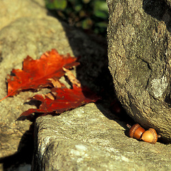 """Acorns and oak leaves on a stone wall at the edge of a forest next to  """"Massacre Marsh.""""  New Hampshire Seacoast.  Fall. Rye, NH"""
