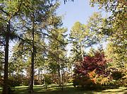 Japanese larch trees, Larix kaempferi, National arboretum, Westonbirt arboretum, Gloucestershire, England, UK