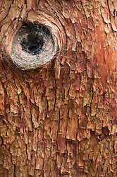 Tree Bark Detail, Stuart Island, San Juan Islands, Washington, US