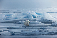 A sad looking polar bear rests on the edge of the drifting ice, far north of Spitsbergen in the High Arctic archipelago of Svalbard
