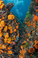 Swarms of schooling Anthias and orange Cup Corals, Divers..Shot in Indonesia