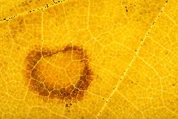 THEMENBILD - Blattfarben des Herbstes, Macroaufnahme, im Bild Assimilation im Herbst, Blattgrün (Chlorophyll) wird nicht mehr verdeckt durch gelbe Carotine, Carotinoide, Xanthophylle, Blattstruktur des Ahorn (Acer spec) im Durchlicht, Herbstf√§rbung, Detail, extreme Nahaufnahme im Durchlicht. Bild aufgenommen am 13.10.2013. EXPA Pictures © 2013, PhotoCredit: EXPA/ Eibner-Pressefoto/ Weber<br /> <br /> *****ATTENTION - OUT of GER*****
