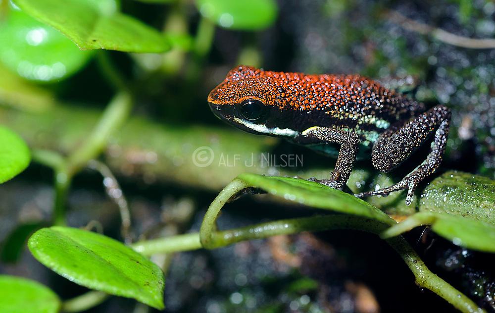 Ruby Poison Frog (Ameerega parvula) from the rainforest of La Selva, Ecuador