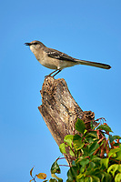 Arthur R. Marshall Loxahatchee National Wildlife Reserve, Wellington, Florida, USA. Northern Mockingbird (Mimus polyglottus)   Photo: Peter Llewellyn