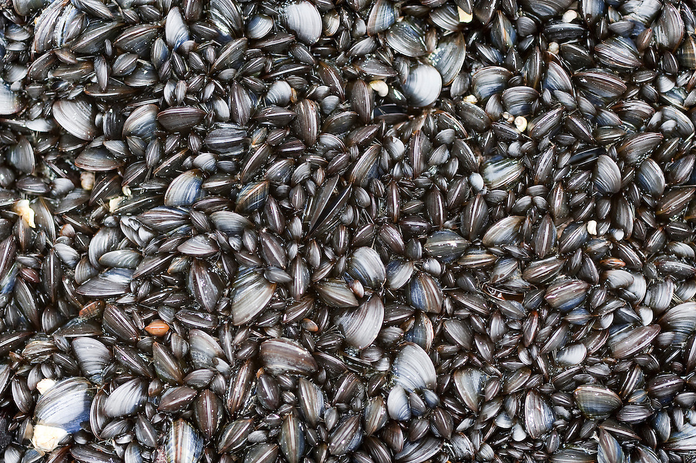 Mussels at low tide, Pemaquid Point Maine